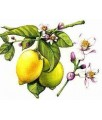 Citrus Limonum-Citron - Acné, Antiseptique